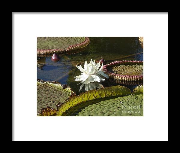 Flower Framed Print featuring the photograph White Water Lily by Anita Adams
