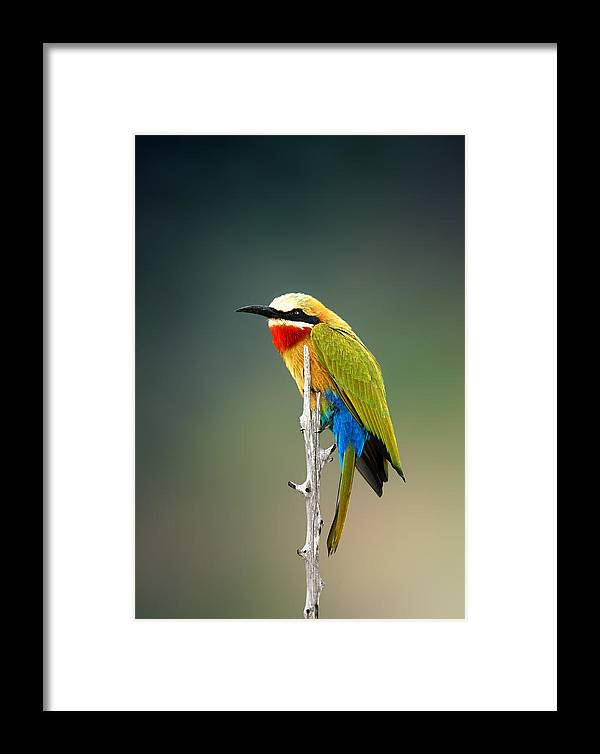 Bee-eater Framed Print featuring the photograph Whitefronted Bee-eater by Johan Swanepoel