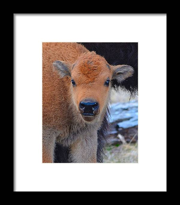 Bison Baby Bison Framed Print featuring the photograph Who Are You by Kevin Spriggs