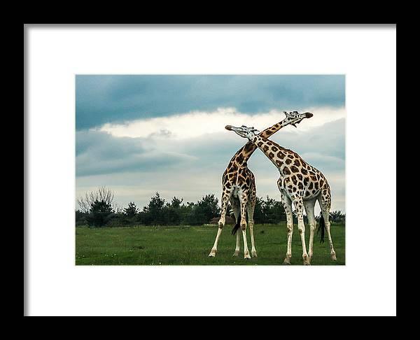 Giraffe Framed Print featuring the photograph Who Is Taller by Chakravarthy Kotaru