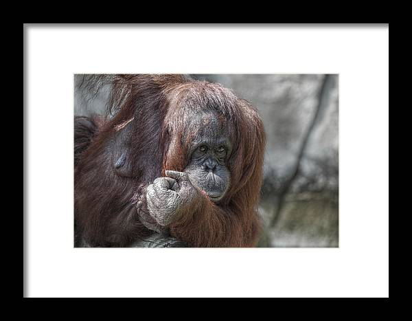 Ape Framed Print featuring the photograph Who U Lookin At by Howard Markel