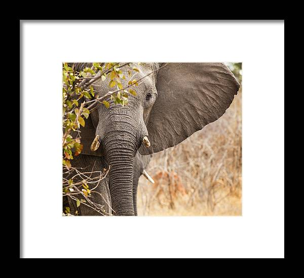 Elephant Framed Print featuring the photograph Whoa You Are Big by Jennifer