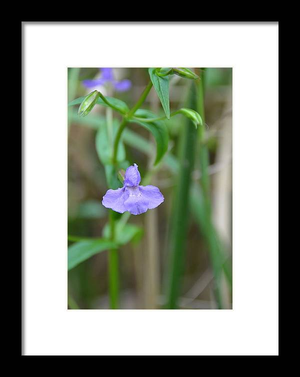The 4th Of August Jpg.580e7wild Blue Orchid Framed Print featuring the photograph Wild Blue Orchid by Chris Tennis
