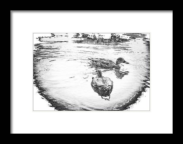 Nature Framed Print featuring the photograph Wild Duck by Julie Miller