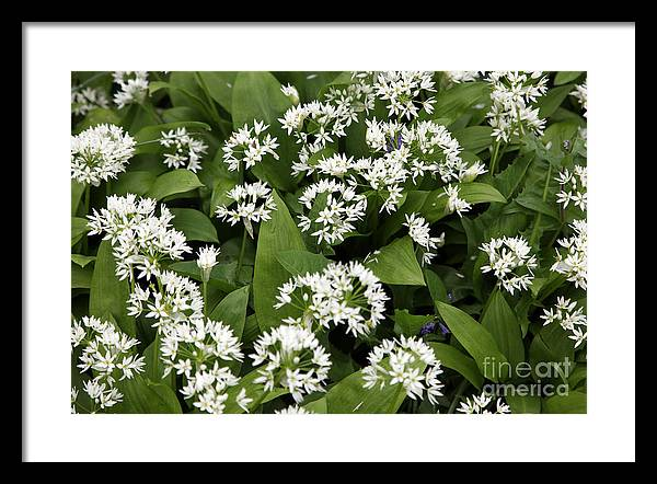 Wild Garlic Framed Print featuring the photograph Wild Garlic by Ros Drinkwater