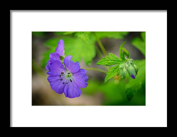 Cades Cove Framed Print featuring the photograph Wild Geranium by Charlie Choc