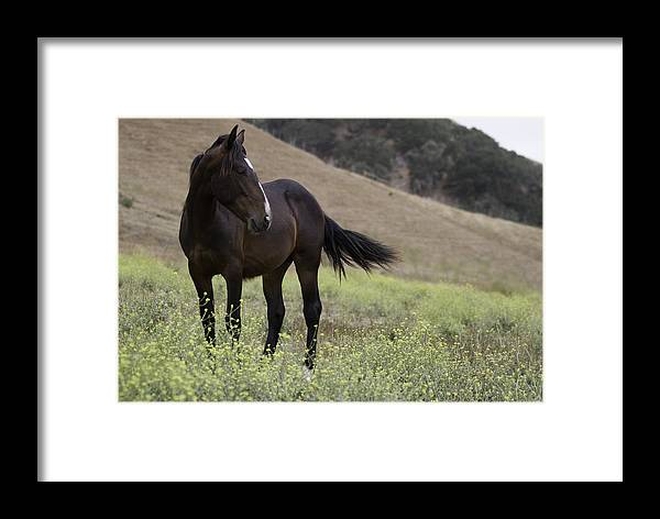 Mustang Photographs Framed Print featuring the photograph Wild Horse Mare by Meg Frederick