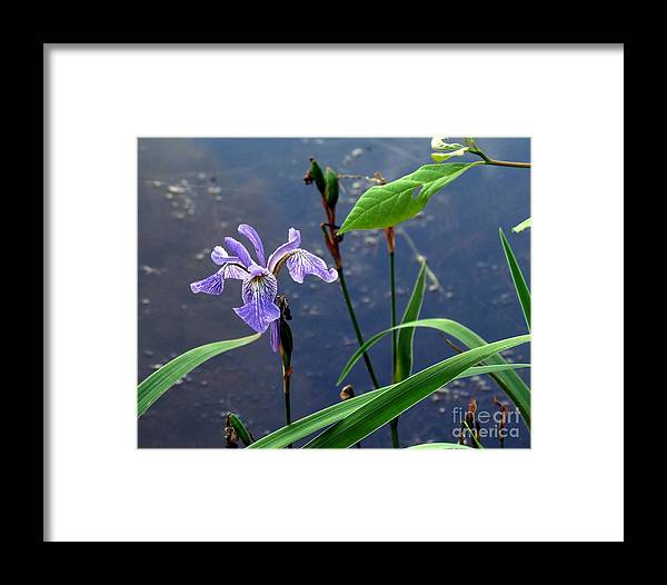 Wildflowers Framed Print featuring the photograph Wild Iris by Lili Feinstein