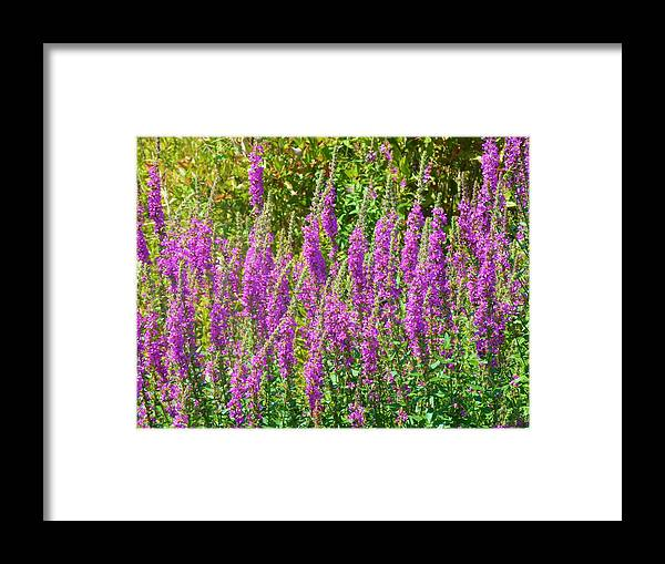 Field Framed Print featuring the photograph Wild Lavender Flowers by Jeanette Oberholtzer