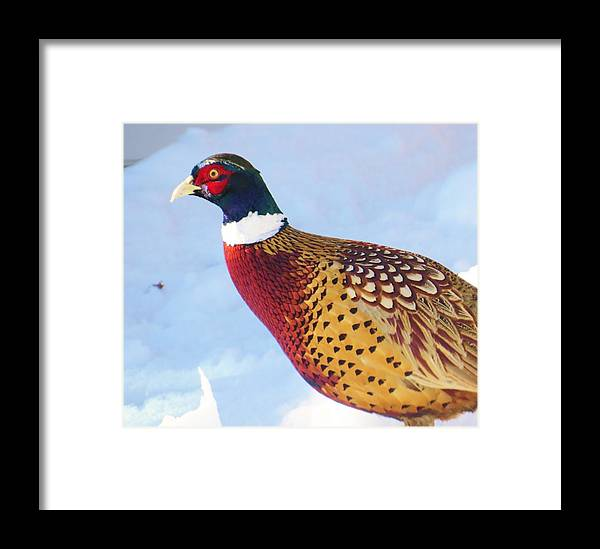Bird Framed Print featuring the photograph Wild Pheasant by Jeanette Oberholtzer
