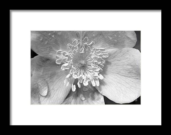 #albertarose Framed Print featuring the photograph Wild Rose by Jacquelinemari