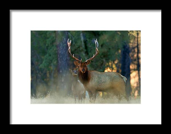 Elk Framed Print featuring the photograph Wild To The Bone by Dennis Blum