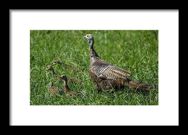 Framed Print featuring the photograph Wild Turkey And Poults by Brian Stevens