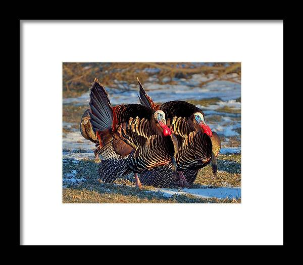 Framed Print featuring the photograph Wild Turkey by Wyatt Anderson