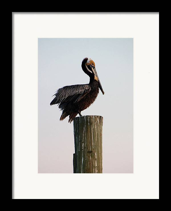 Brown Pelican Framed Print featuring the photograph Will This Pose Do by Suzanne Gaff