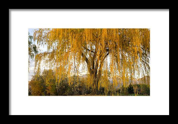 Tree Framed Print featuring the photograph Willow Yellow Rain by Southwindow Eugenia Rey-Guerra