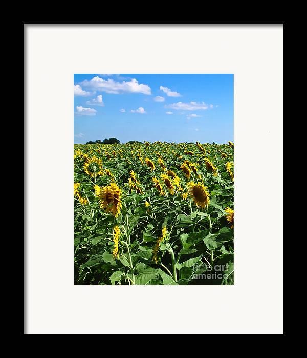 Sunflower Framed Print featuring the photograph Windblown Sunflowers by Robert Frederick