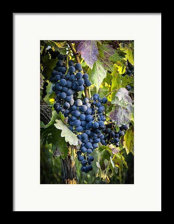 Grapes Framed Print featuring the photograph Wine Grapes by Tetyana Kokhanets
