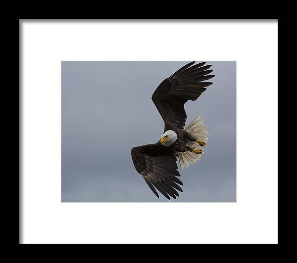 Bald Framed Print featuring the photograph Wings Of An Angel by Mike Taddeo