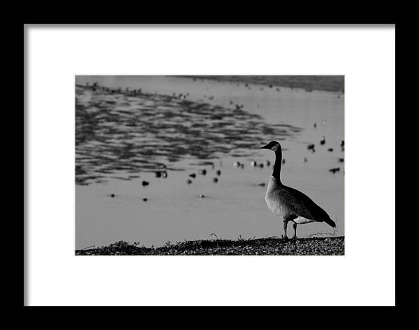 Ducks Framed Print featuring the photograph Winter At The Shores4 by Pico Soriano