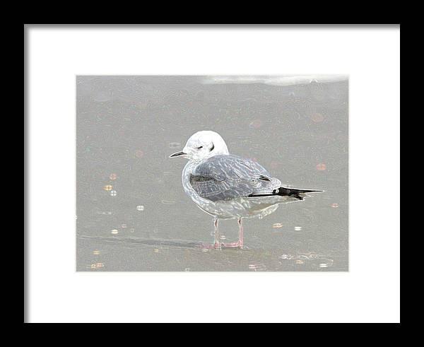 Bird Framed Print featuring the photograph Winter Bonaparte's Gull by Bob Richter