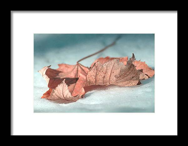 Maple Leaf On Snow Framed Print featuring the photograph Winter Decay 4 by Fraida Gutovich