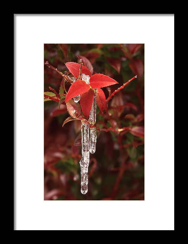 Wild Huckleberry Plant Framed Print featuring the photograph Winter Flower by Ginny Barklow
