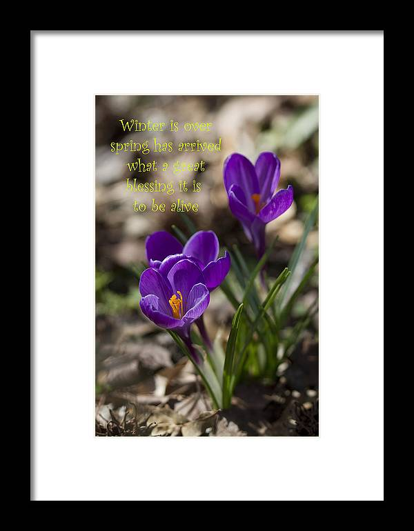 Crocus Framed Print featuring the photograph Winter Is Over - Spring Has Arrived by Kathy Clark
