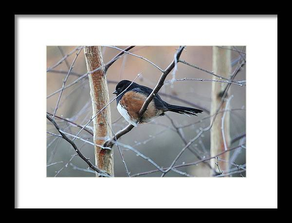 Bird Wildlife Nature Finch Feather Branch Wing Aviary Gouldian Robin Fly Flight Fat Tail Beak Tree Frost Framed Print featuring the photograph Winter Perch by Paul Clarke