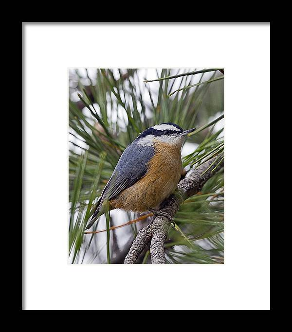 Red Breasted Nuthatch Framed Print featuring the photograph Winter Visitor - Red Breasted Nuthatch by John Vose