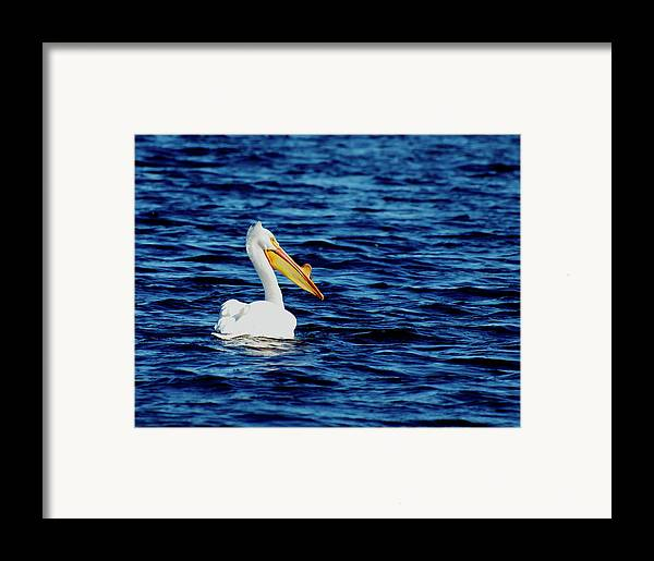 American White Pelican Framed Print featuring the photograph Wisconsin Pelican by Thomas Young