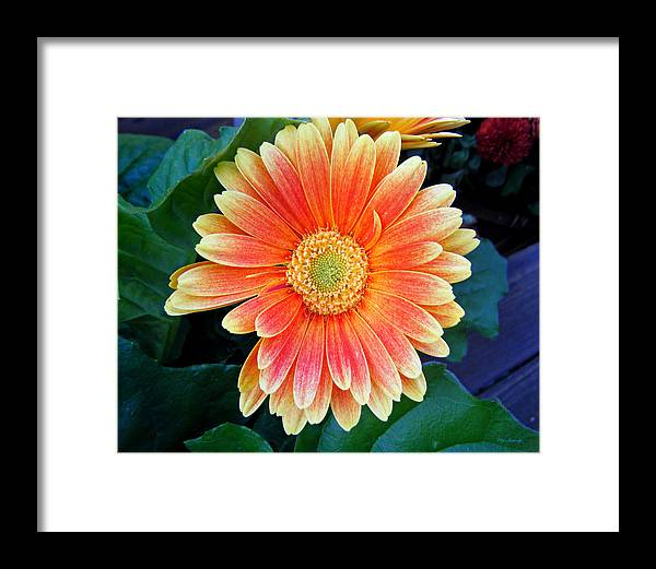 Duane Mccullough Framed Print featuring the photograph Wonderful Daisy by Duane McCullough
