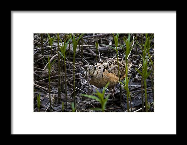 Animal Framed Print featuring the photograph Wood Cock by Jack R Perry
