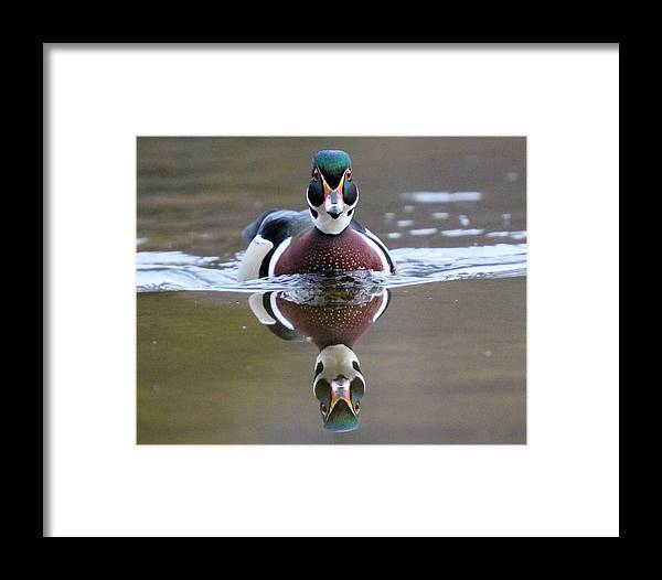 Wood Duck Framed Print featuring the photograph Wood Duck Drake Frontal by John Dart