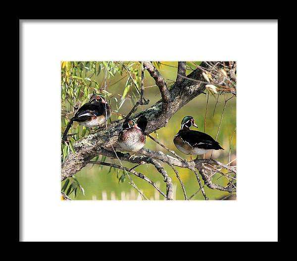 Wood Duck Framed Print featuring the photograph Wood Duck Drakes In Tree by John Dart