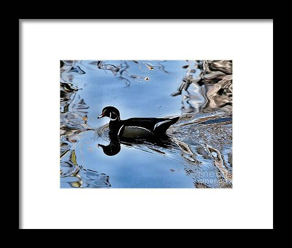 Bird Framed Print featuring the photograph Wood Duck In Motion by Phil Huettner