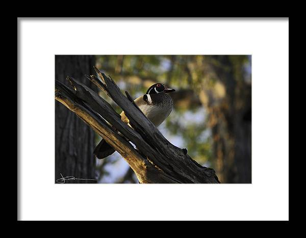 Animals Framed Print featuring the photograph Wood Duck Morning by Jim Bunstock