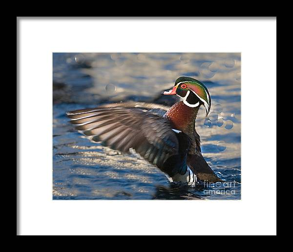 Wood Framed Print featuring the photograph Wood Duck by Ronald Lutz