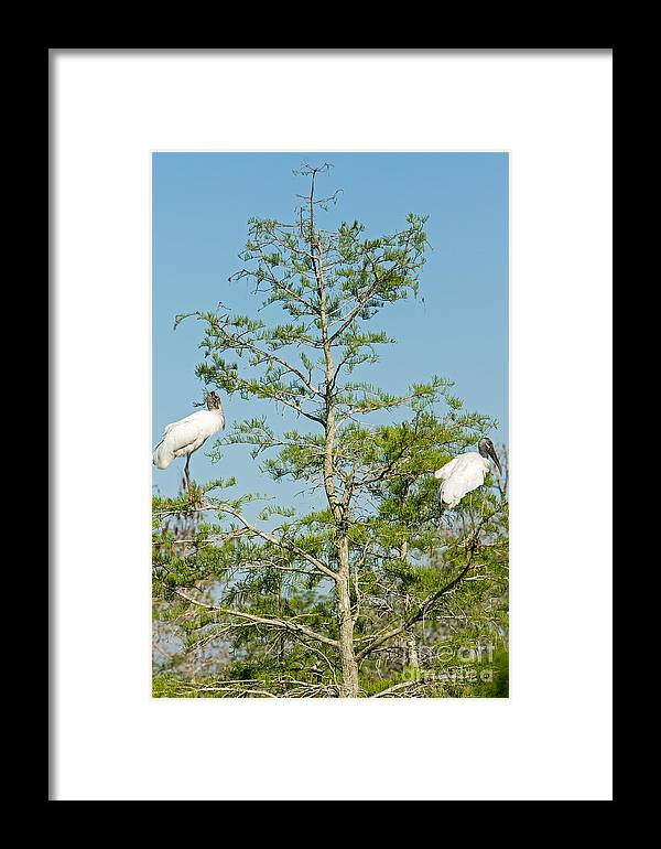 Everglades Framed Print featuring the photograph Wood Storks In The Everglades by Natural Focal Point Photography