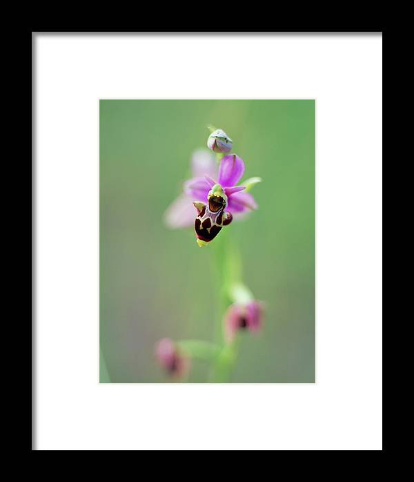 Ophrys Scolopax Framed Print featuring the photograph Woodcock Orchid (ophrys Scolopax) by Rachel Warne/science Photo Library