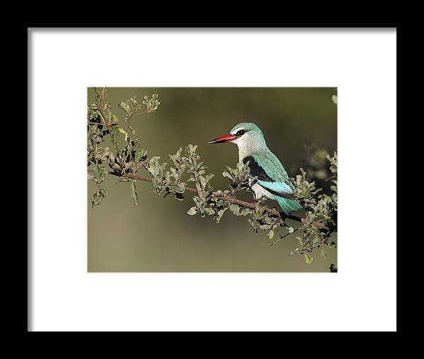 Nis Framed Print featuring the photograph Woodland Kingfisher Kruger Np South by Alexander Koenders