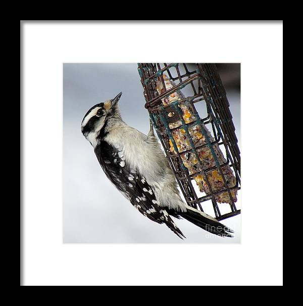 Nature Framed Print featuring the photograph Woodpecker At Suet Iv by Lili Feinstein