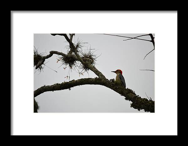 Woodpecker Framed Print featuring the photograph Woodpecker On Lookout by Linda Kerkau