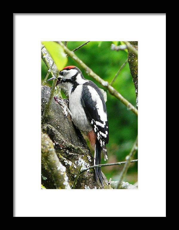 Bird Framed Print featuring the photograph Woodpecker Swallowing A Cherry by Valerie Ornstein