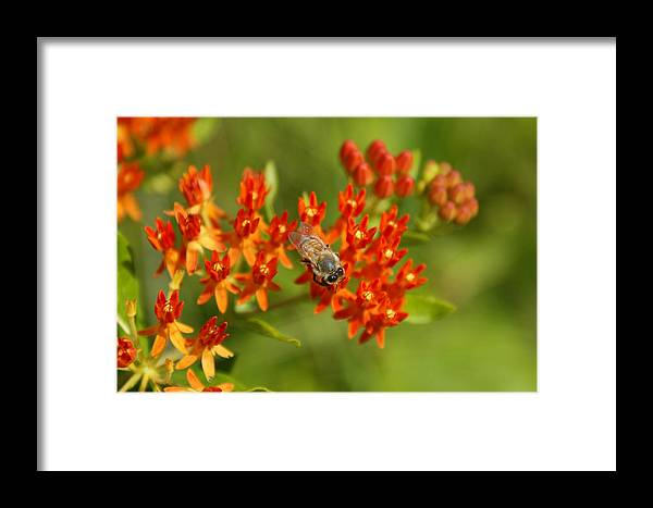 Bee Framed Print featuring the photograph Work To Be Done by Off The Beaten Path Photography - Andrew Alexander