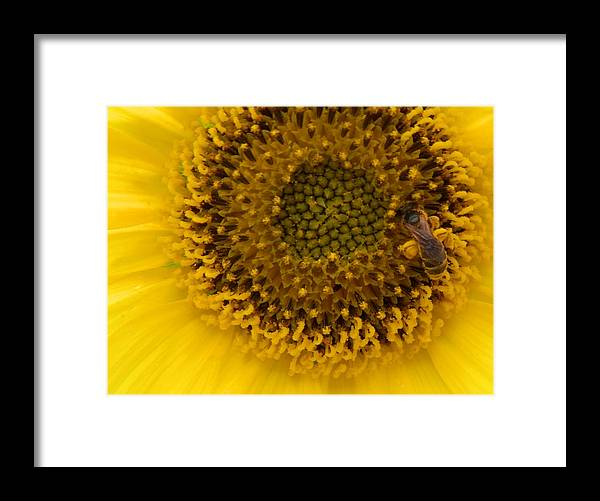 Honey Bee Caught Working And Loading Up With Pollen All Over Him While On The Bright Yellow Framed Print featuring the photograph Working Honey Bee by Belinda Lee