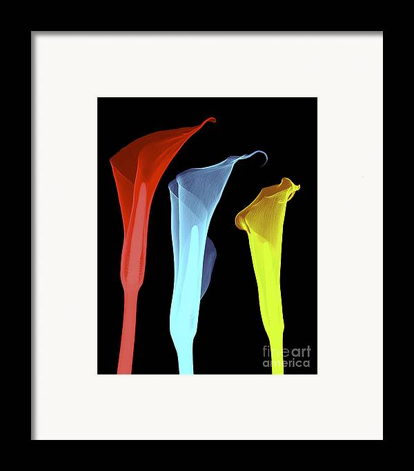 Radiograph Framed Print featuring the photograph X-ray Of Three Lilies by Bert Myers