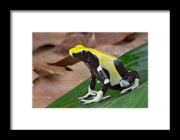 Guyana Framed Print featuring the photograph Yellow And Black Poison Dart Frog by Dirk Ercken