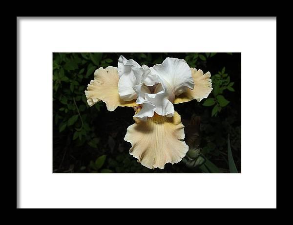 Bearded Iris Framed Print featuring the photograph Yellow Bearded Iris by M Schanen