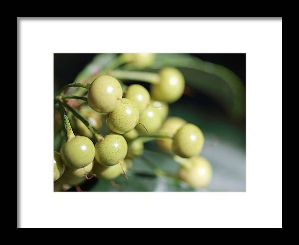 Berries Framed Print featuring the photograph Yellow Berry by Mary Haber